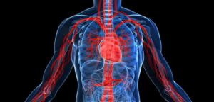 aorte, vaisseaux sanguins